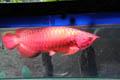 Gali Potensi Ikan Hias Nusantara