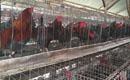 Ayam Lokal Punya Obsesi