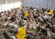 Mengintensifkan Ayam Lokal