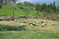 Klasterisasi Domba dan Kambing