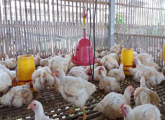 Anggun KL Farm:  Terapkan Manajemen Pakan yang Efisien