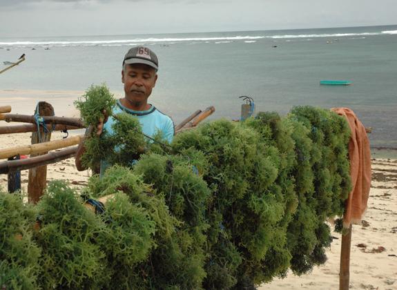 Prospek Base Product Rumput Laut