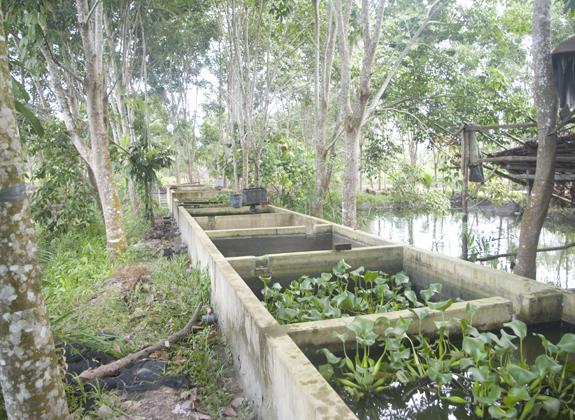 Peluang  Patin Tersembunyi di Bangka